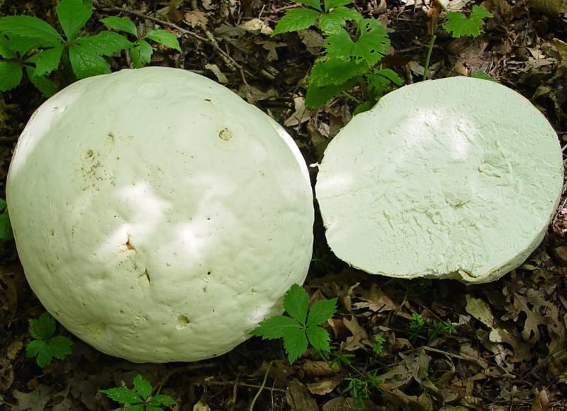 Мякоть гриба головача гигантского (дождевика гигантского)