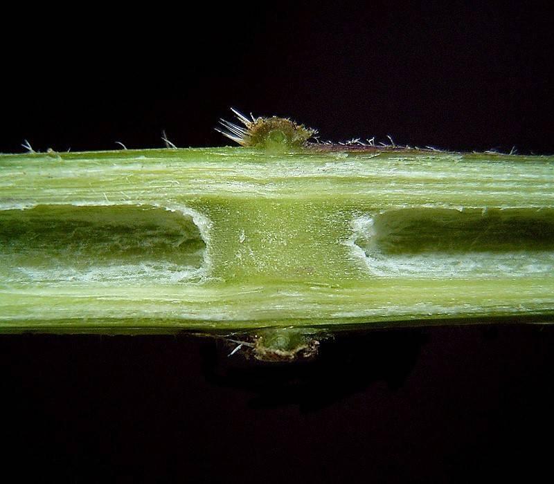Продольный срез стебля крапивы двудомной
