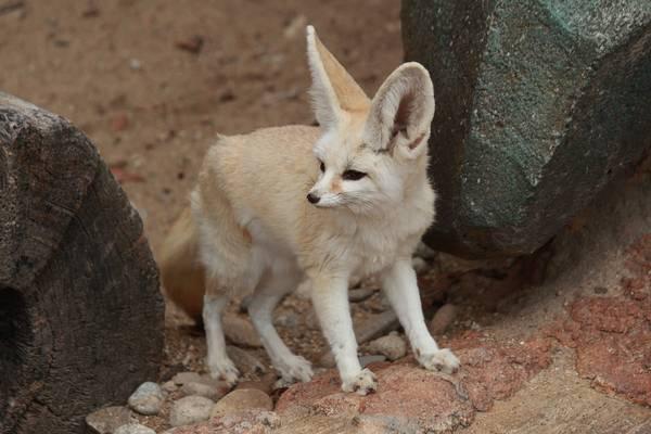 Пустынная лисица фенек фото (лат. Vulpes zerda)