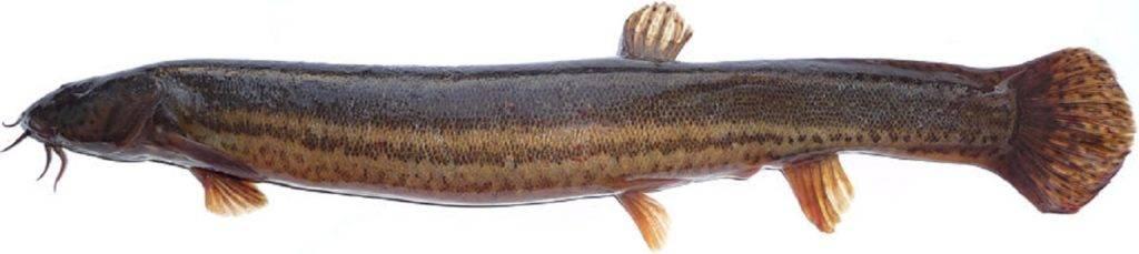 Рыба вьюн фото