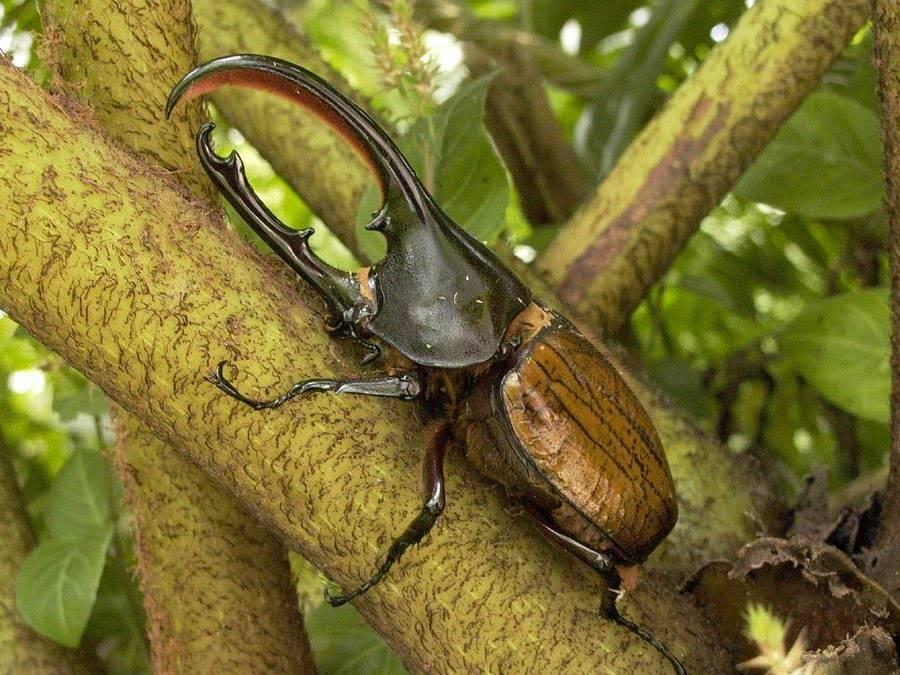 Самый большой в мире жук геркулес фото