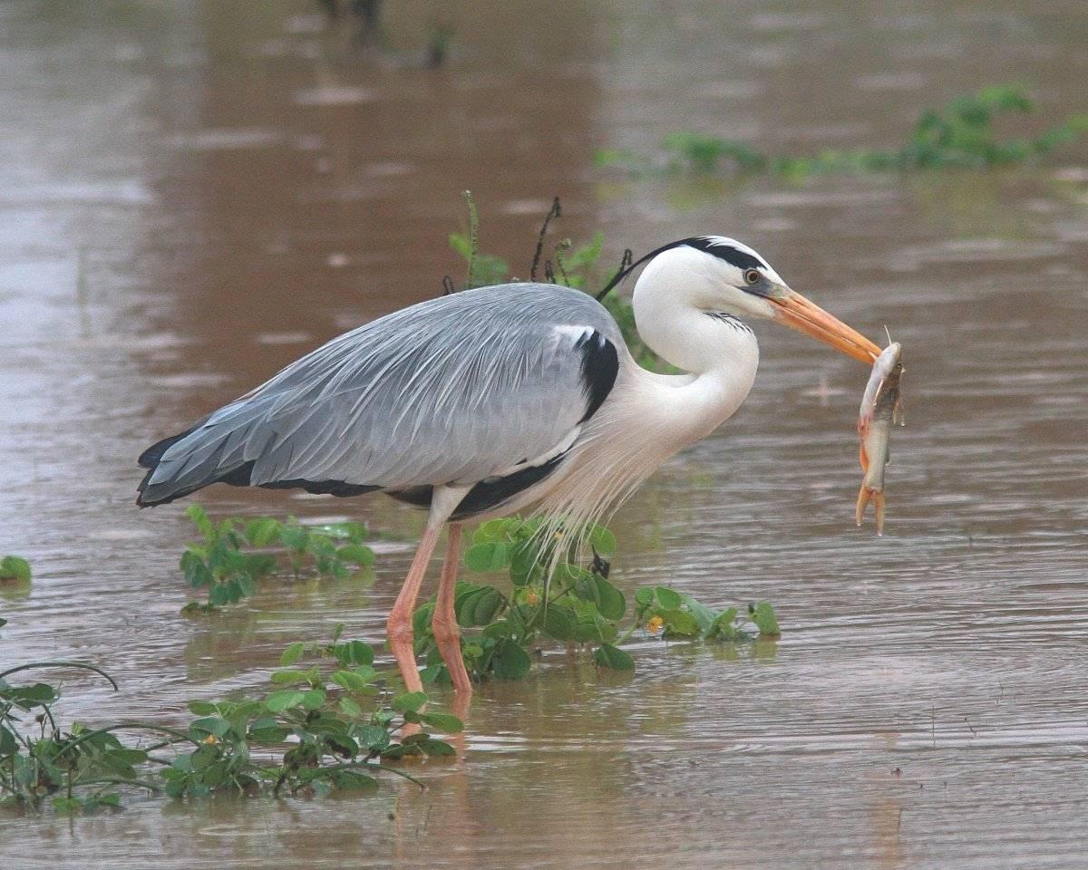 Цапля: фото птицы, виды цапель с фото и описанием