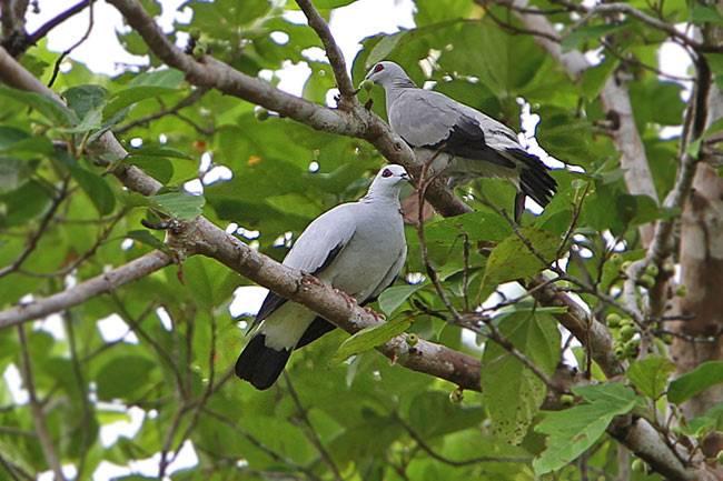 Серебристый голубь