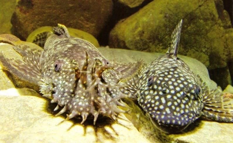 Сом анциструс обыкновенный – слева самец, справа самка