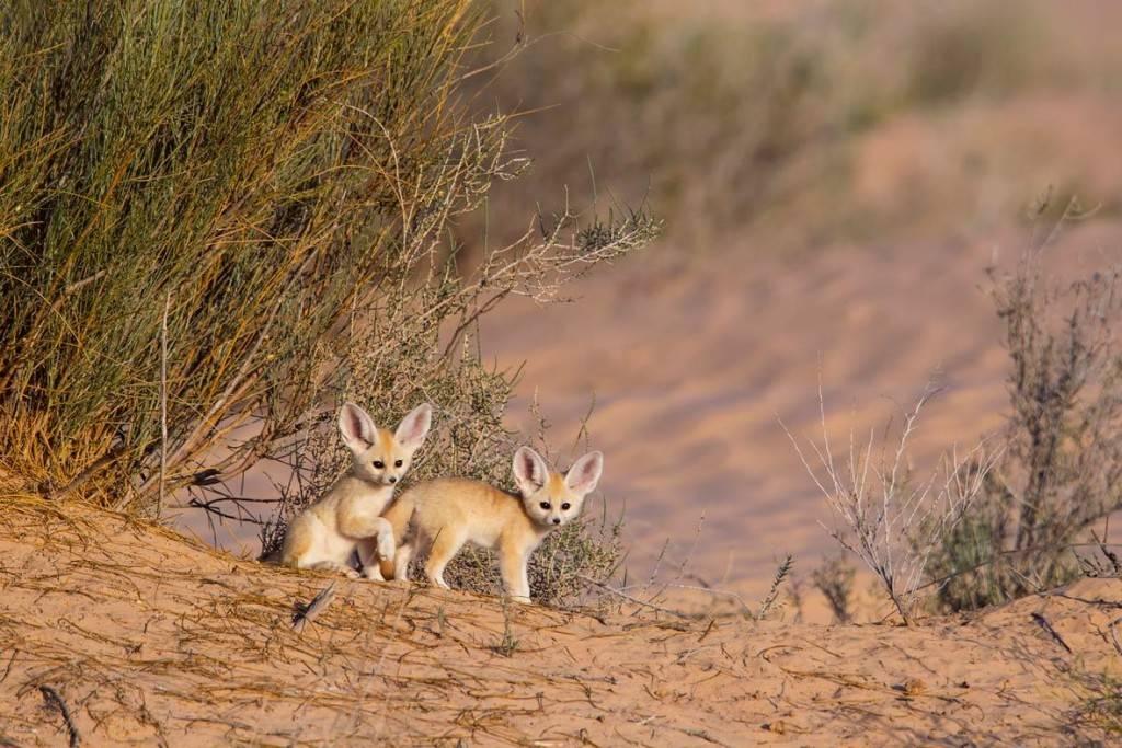 Фенек в пустыне фото