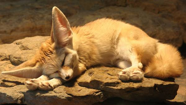 Фенек спит фото (лат. Vulpes zerda)