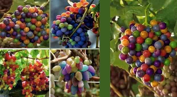 Форма ягод винограда