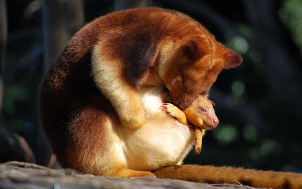 Фото Вид кенгуру Гудфеллоу с детенышем