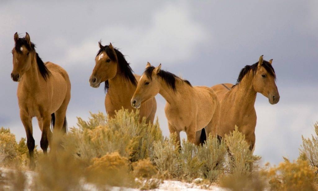 Фото красивых лошадей мустангов