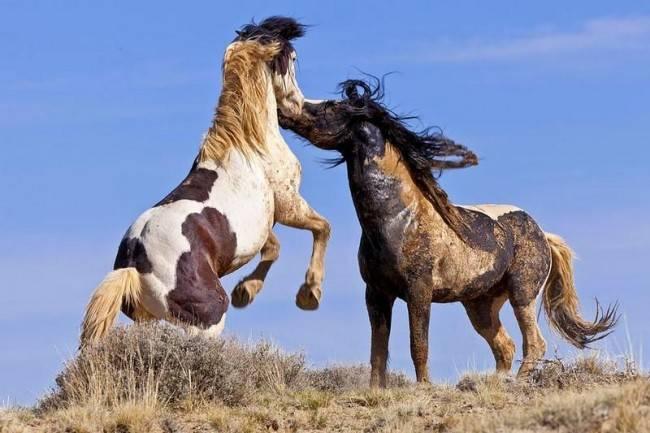 Фото лошадей мустангов