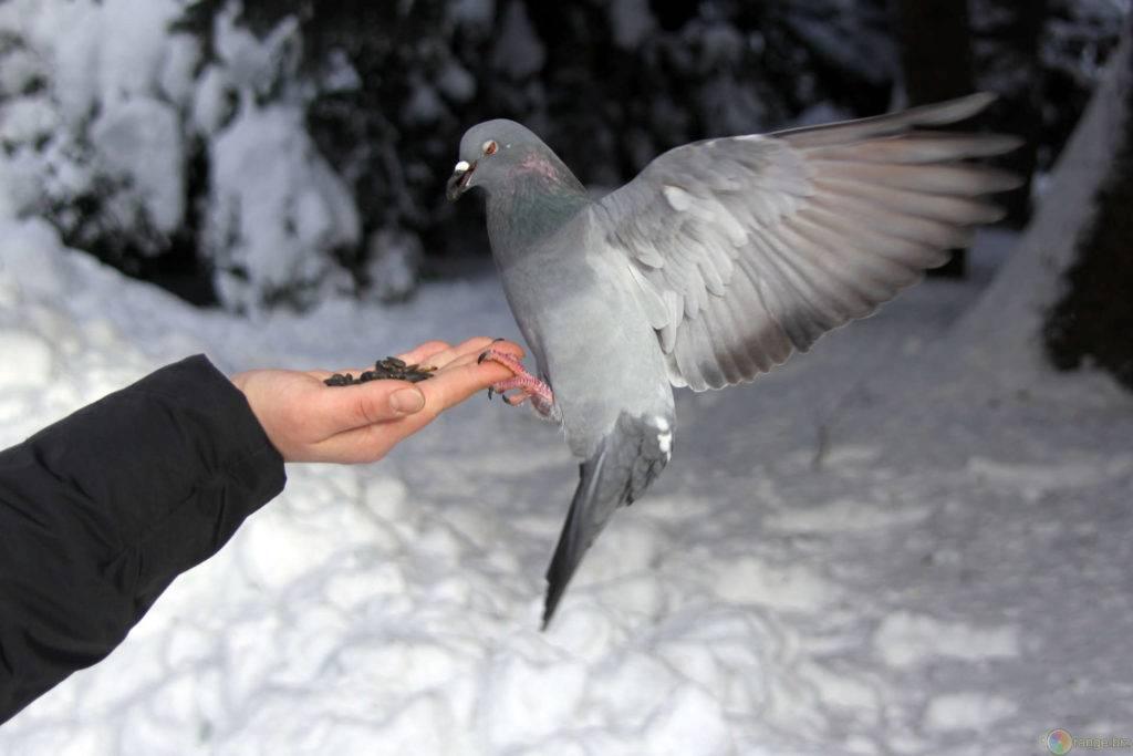 Чем питаются голуби