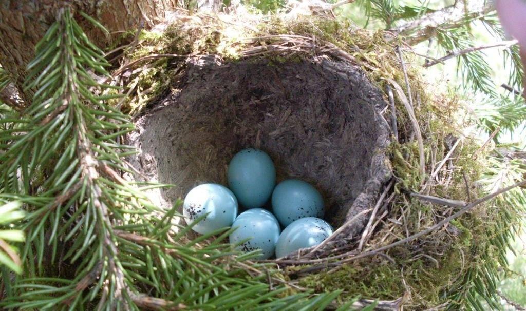 Яйца цапли