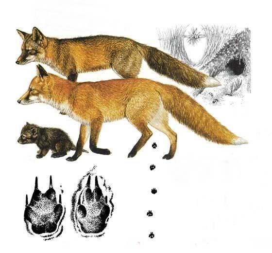 следы лисица обыкновенная виды фото