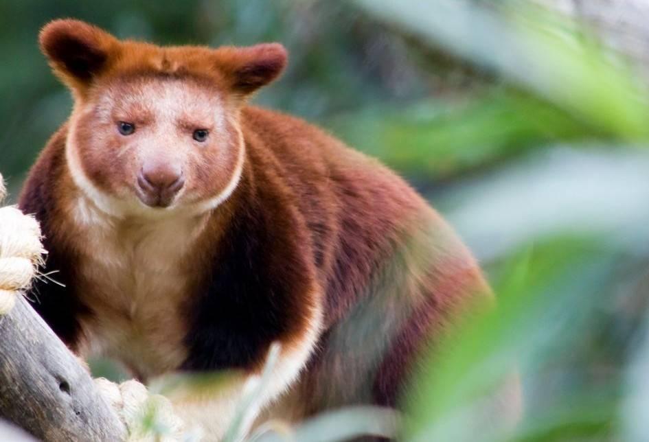 Вид кенгуру Гудфеллоу фото