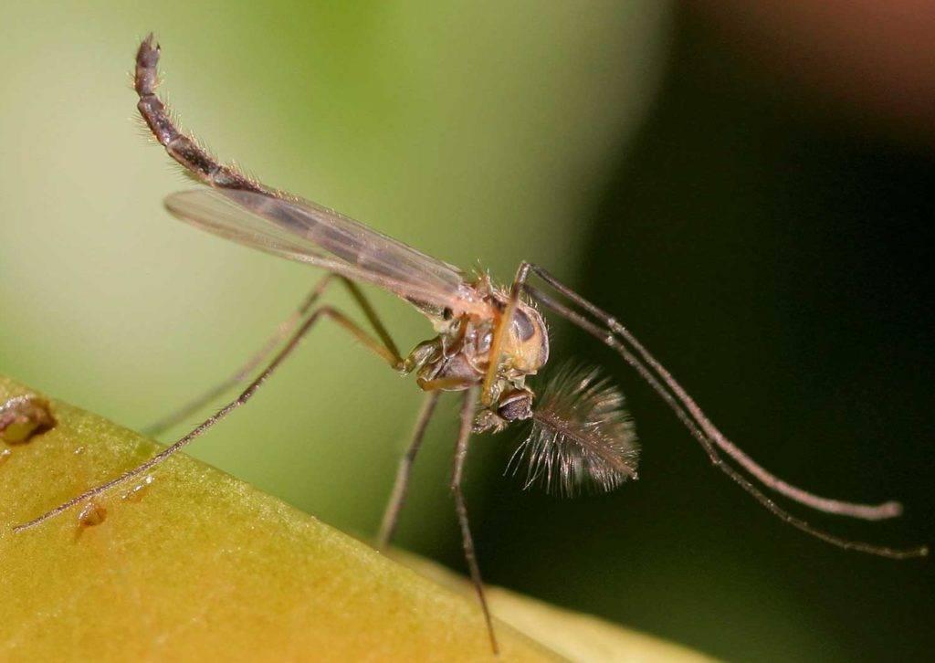 Комар-дергун фото