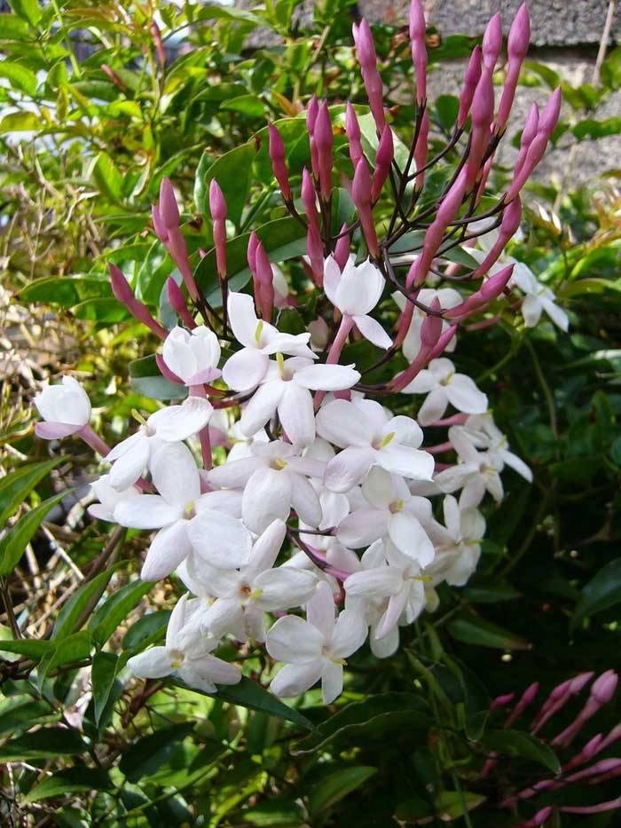 Жасмин многоцветковый полиантовый (Jasminum polyanthum)