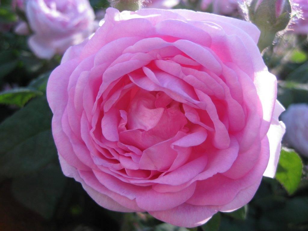 Как выглядит чайная роза фото