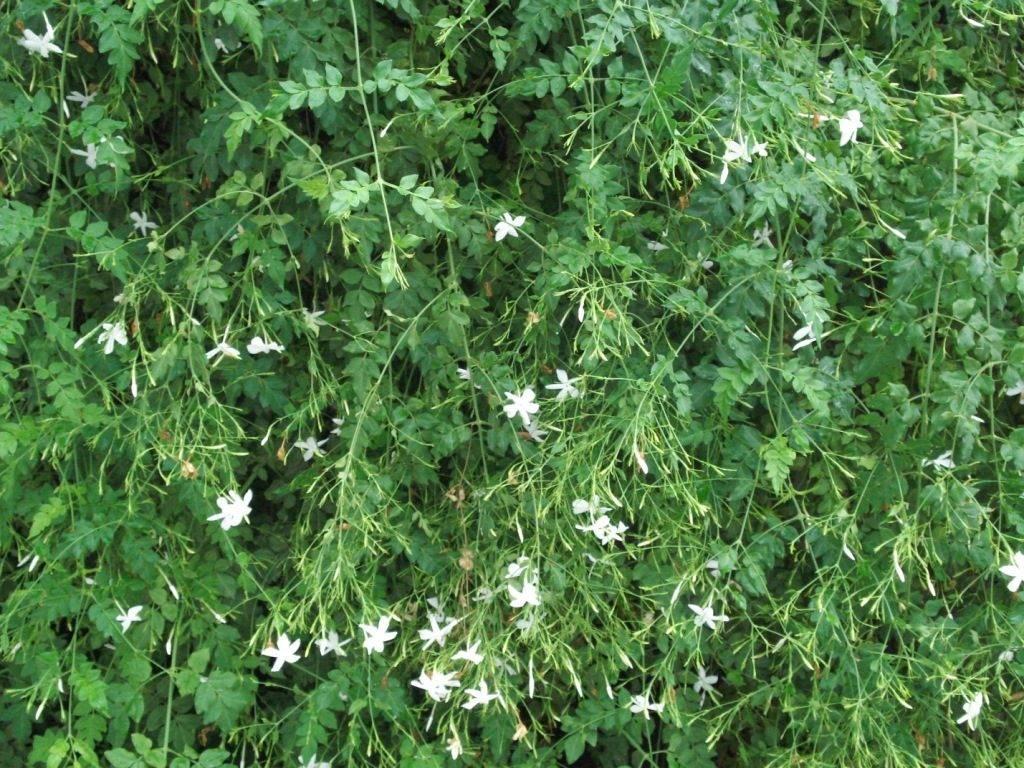 Китайский Жасмин (Jasminum grandiflorum)