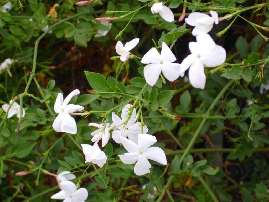 Лекарственный белый жасмин (Jasminum officinale)