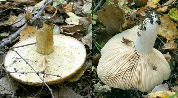 Отличия черного груздя (Lactarius necator) от сыроежки черной (Russula adusta)