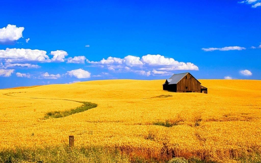 Поле пшеницы фото