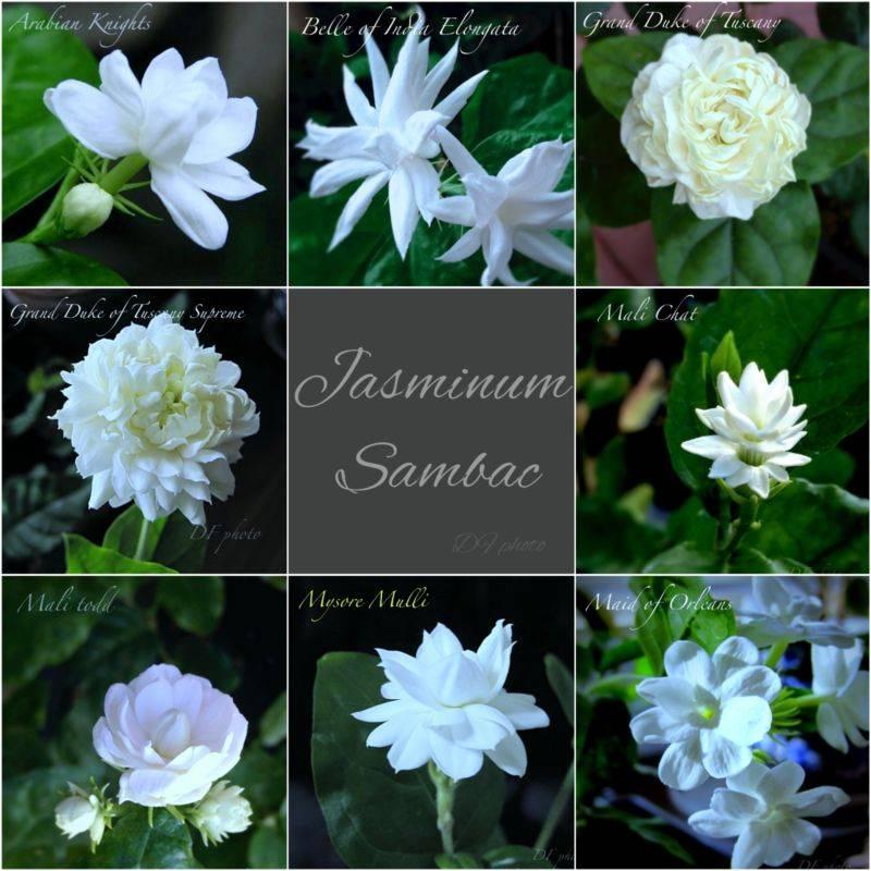 Сорта жасмина самбак (Jasminum sambac)