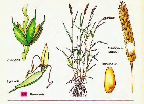 Строение пшеницы и особенности