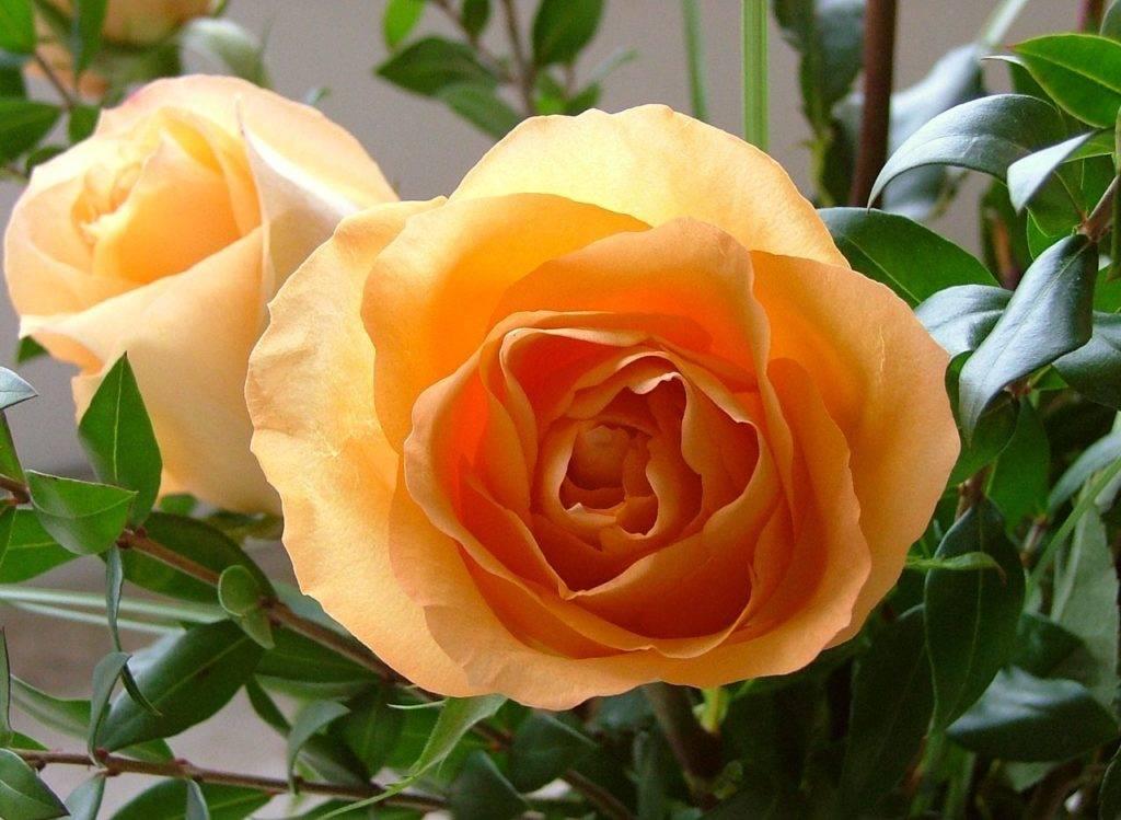 Чайная роза фото