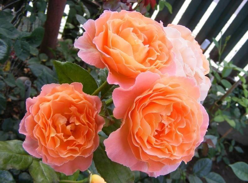 Чайная роза Rosemary Harkness