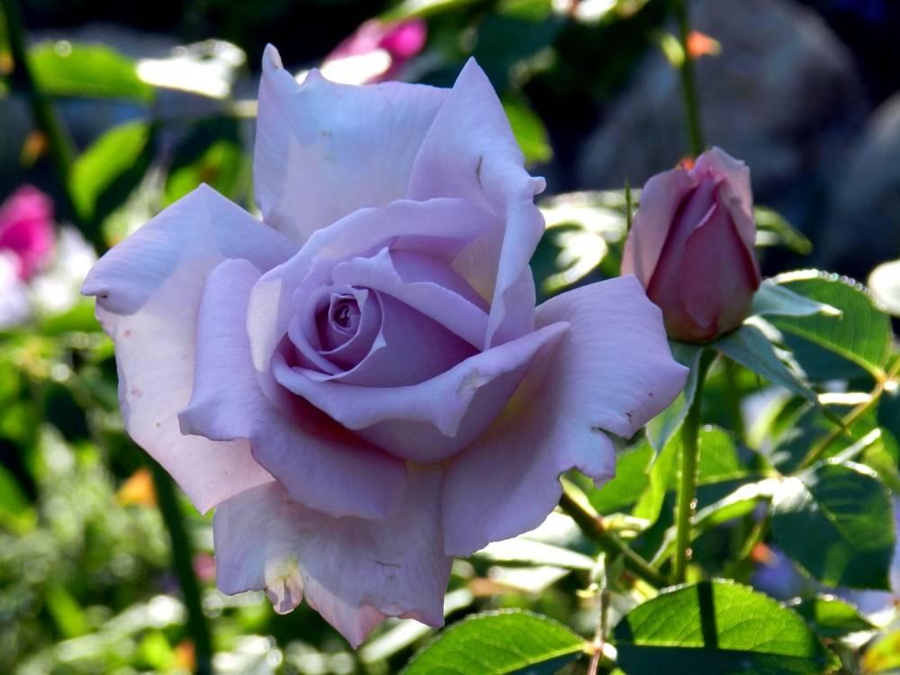 Чайная роза blue moon (блю мун)