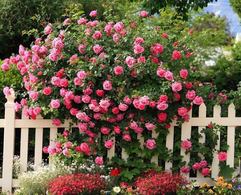Куст чайной розы фото