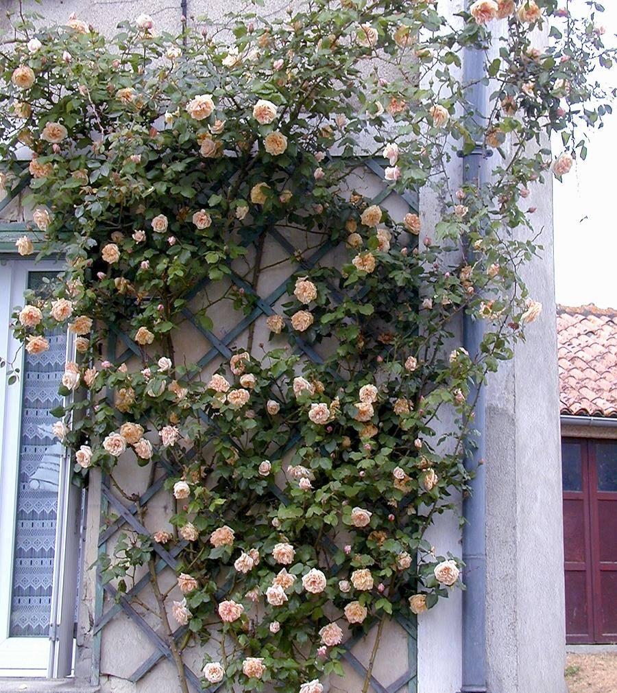 Вьющаяся чайная роза Gloire de Dijon