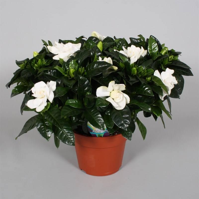 Купить цветок жасмин