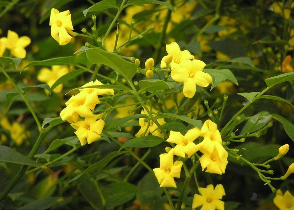 Жасмин желтый кустарниковый (Jasminum fruticans)