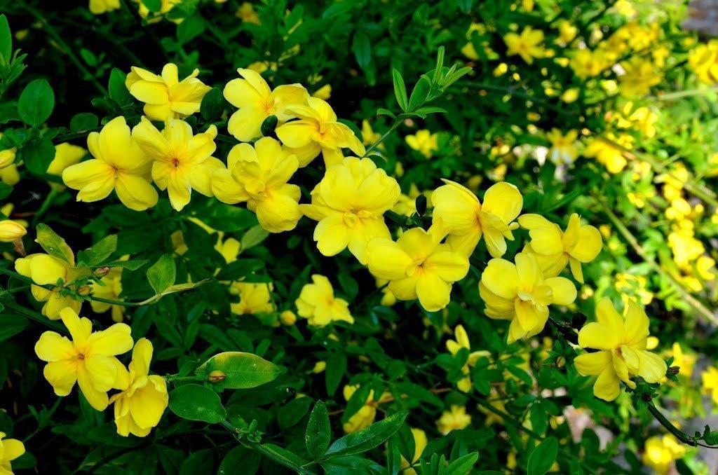 Желтый жасмин фото