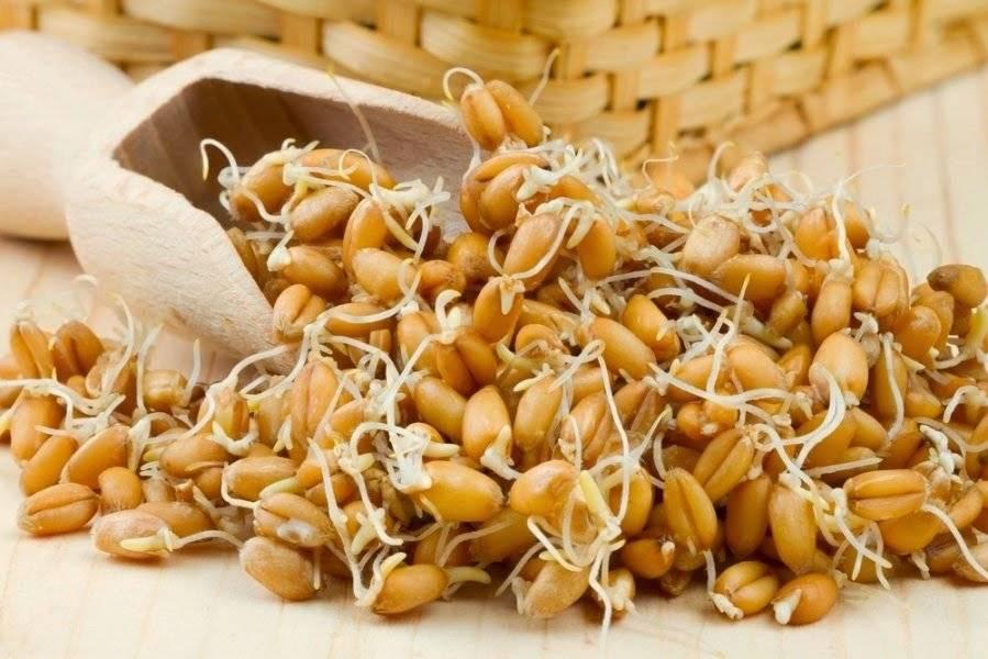 Пророщенные зерна пшеницы фото