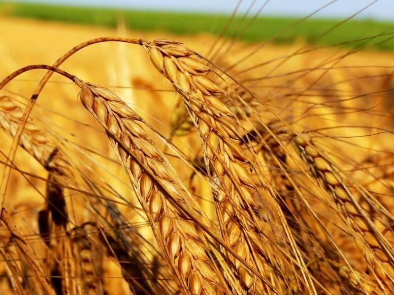 Пшеница фото колос