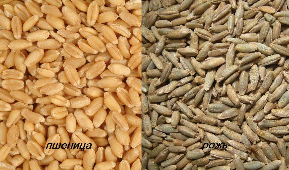 Рожь и пшеница отличия фото