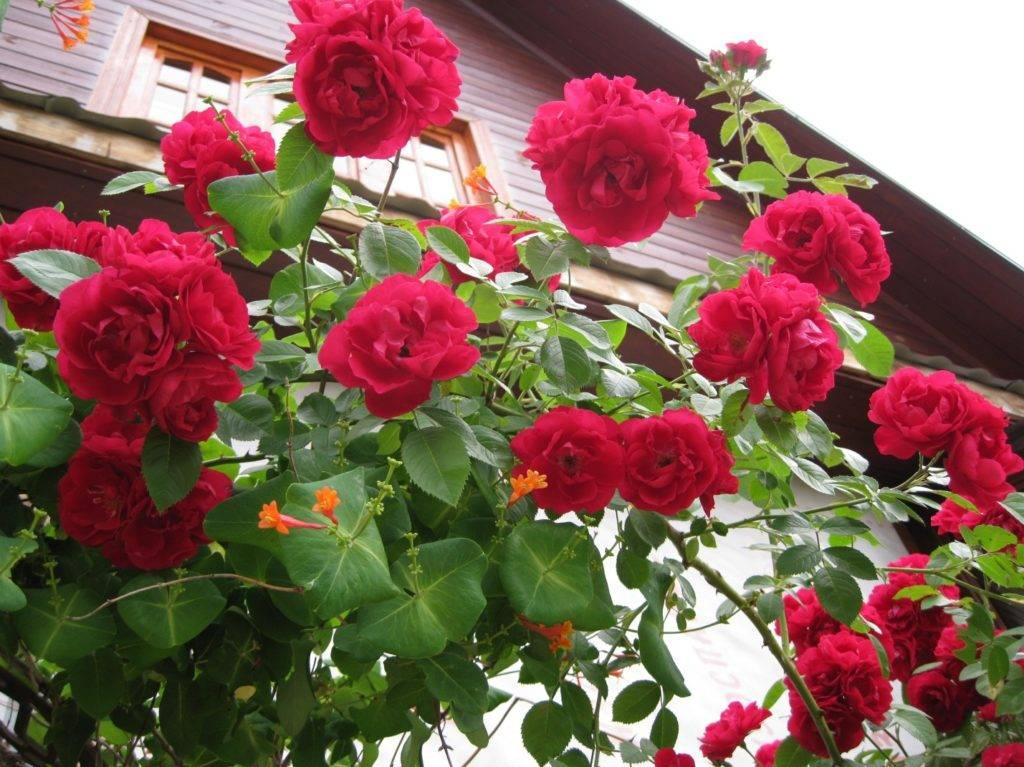 Роза плетистая flammentanz (танец пламени)