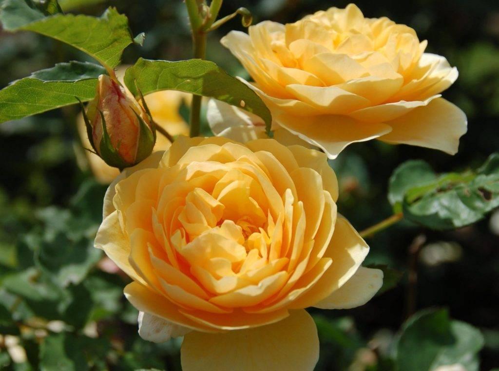 Роза чайного цвета фото