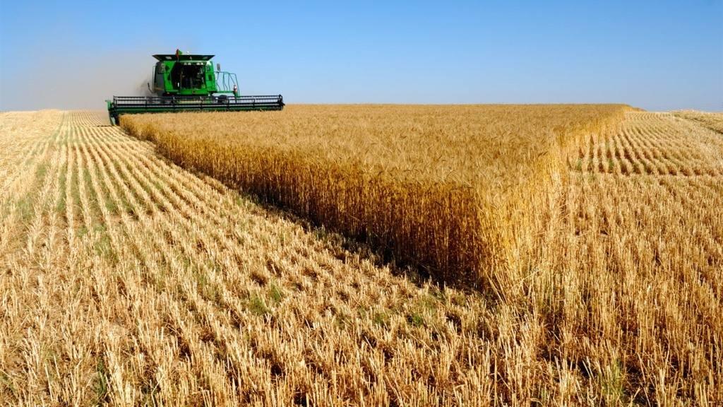 Картинки по запросу пшеница