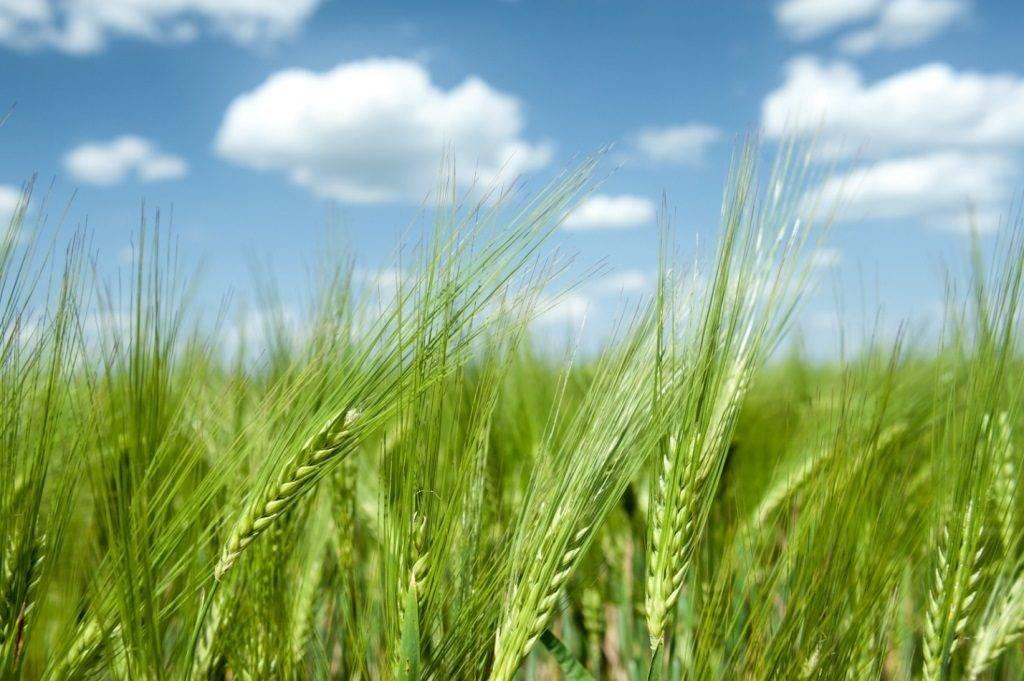 Фото колосков пшеницы