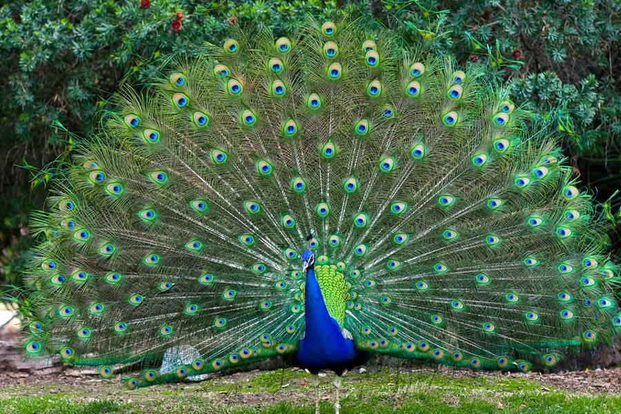 Павлин – описание, виды, где обитает, чем питается, фото