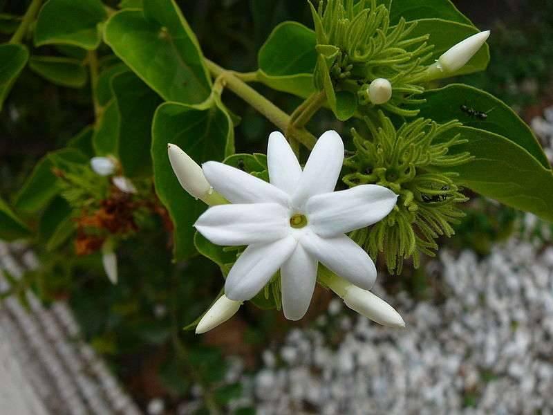 Цветы жасмина лечебные свойства