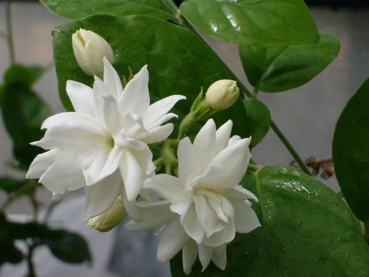 Цветы жасмина фото