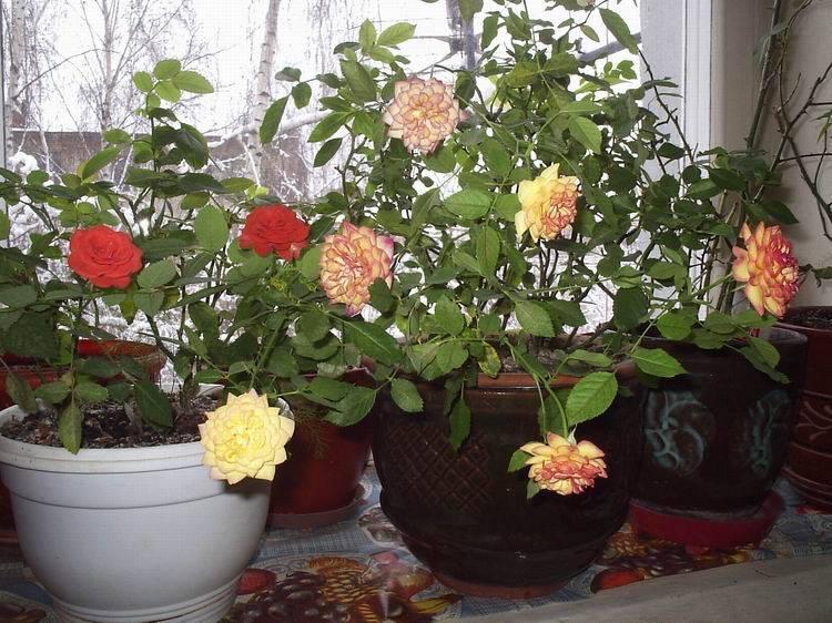 Чайная роза – уход в домашних условиях