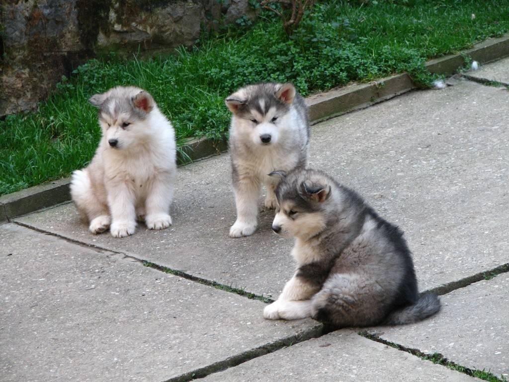 фото аляскинский маламут порода собак