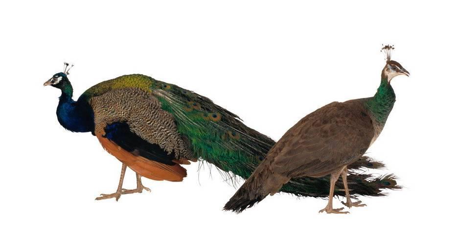 Самец и самка павлина обыкновенного (индийского)