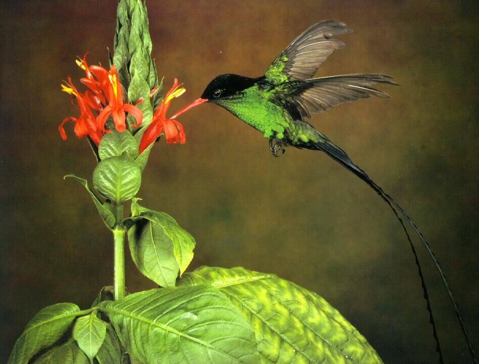Вымпелохвостый колибри фото