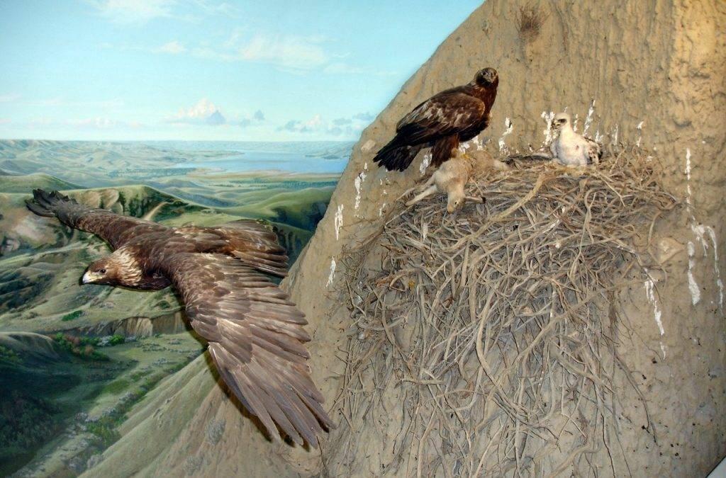 Гнездо беркута